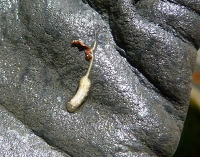 Larve syrphidae
