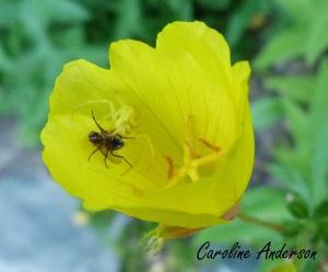 Araignée-Crabe_2