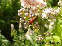 Coléoptère rouge_Pollinisateur