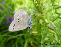 Papillon Bleu-argent