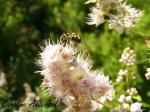 Syrphidae_Pollinisateur