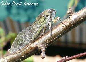 Cicada adulte_2