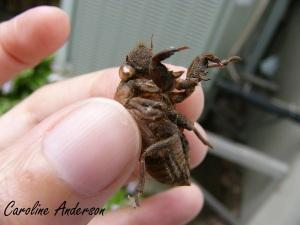 Cicada larve