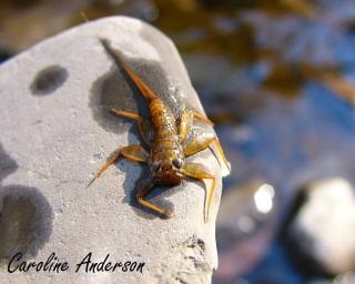 Heptageniidae Larve