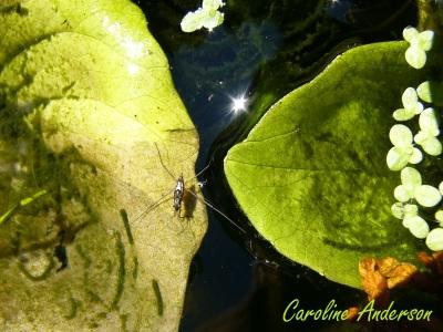 Gerridae