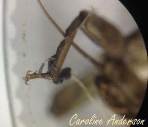 Perlidae patte