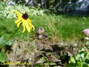 Les araignées sont des championnes pour produire de la soie!