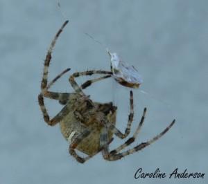 L'araignée des jardins femelle – face à face!