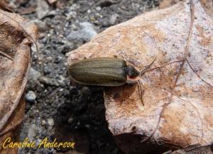 Lampyridae 2