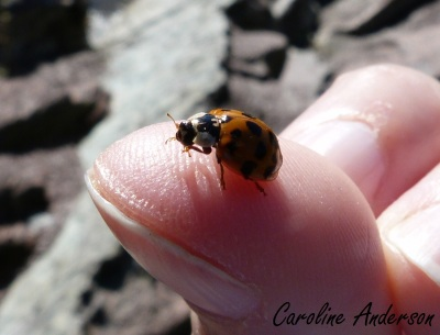 Coccinelle asiatique en train de se faire belle