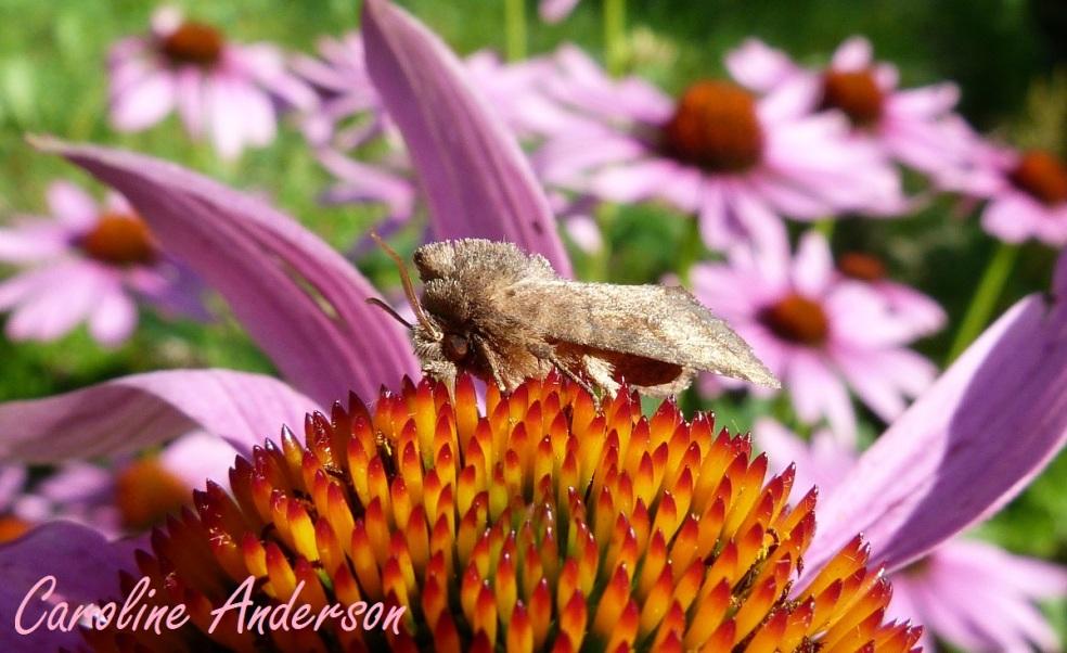 Papillon échinacées