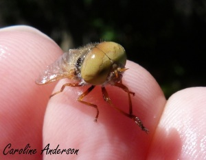 Tabanidae mâle
