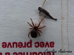 Araignée et oeufs