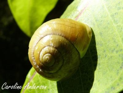 Escargot Coquille