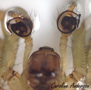 Les organes copulateurs chez les mâles sont situés… de chaque côté de leur tête!