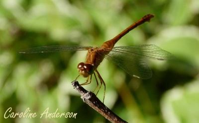 Sympetrum femelle