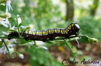 Cucullia convexipennis
