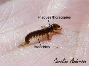 Hydropsychidae_Détails