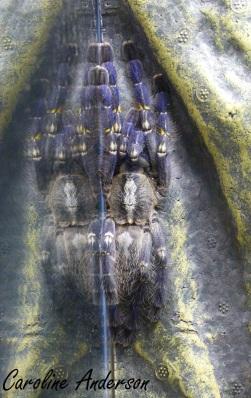 Theraphosidae bleue
