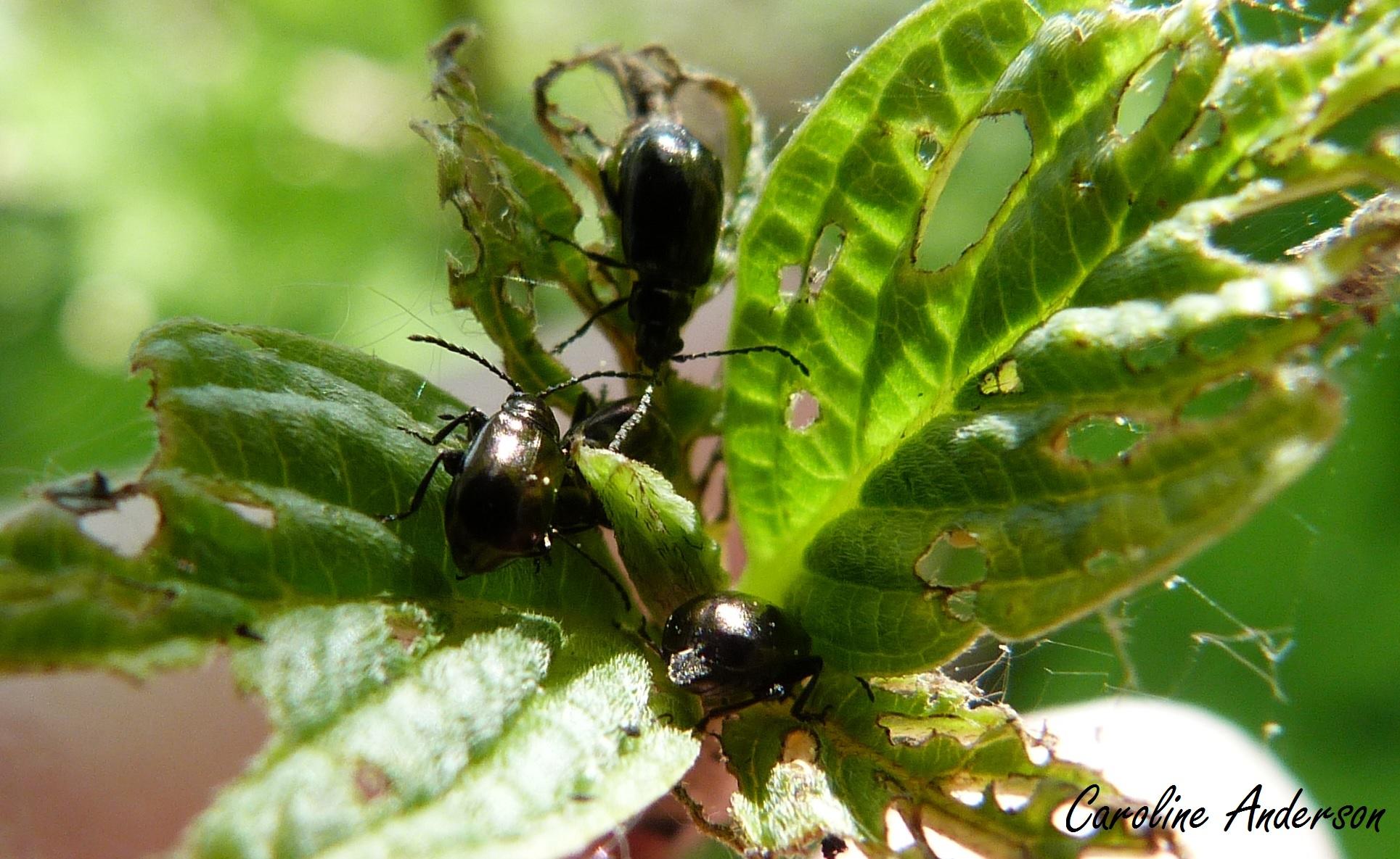 messieurs coléoptères, votre salade de cornouiller est servie