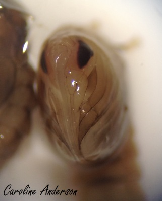 Pupe Culicidae facial