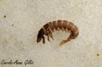 CAGillis_Hydropsychidae_Fin