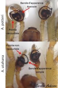 A. potteri versus A. utahana