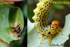 Chenille vs tenthrède
