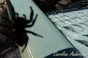 Phidippus purpuratus femelle_2