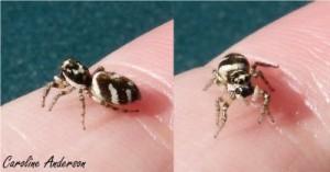 Salticus scenicus femelle