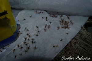 Caenidae filet