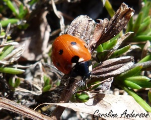 Coccinelle à sept points 4