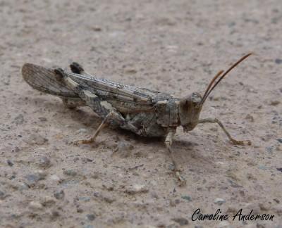 Trimerotropis pallidipennis_2