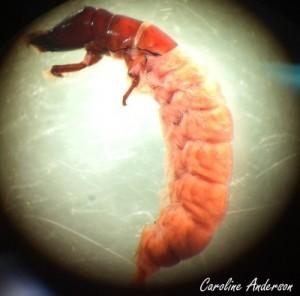 Hydropsychidae Macrostemum