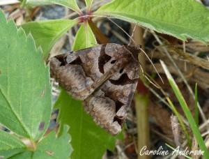 E. cuspidea