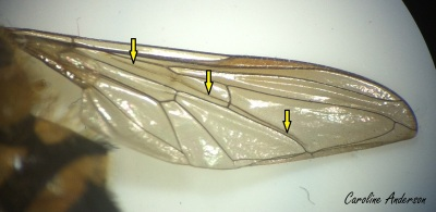 aile-syrphidae_fleches
