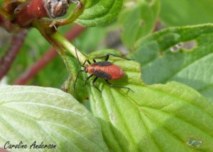 lygaeidae-sp