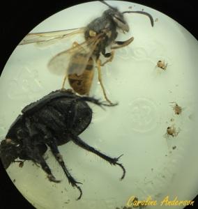bousier-parasite-2