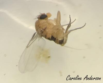 phoridae-2
