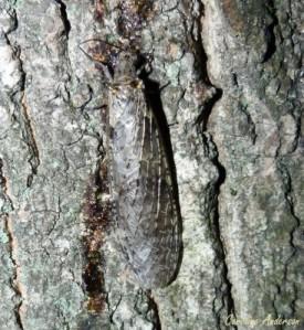 C. rastricornis femelle_miellée