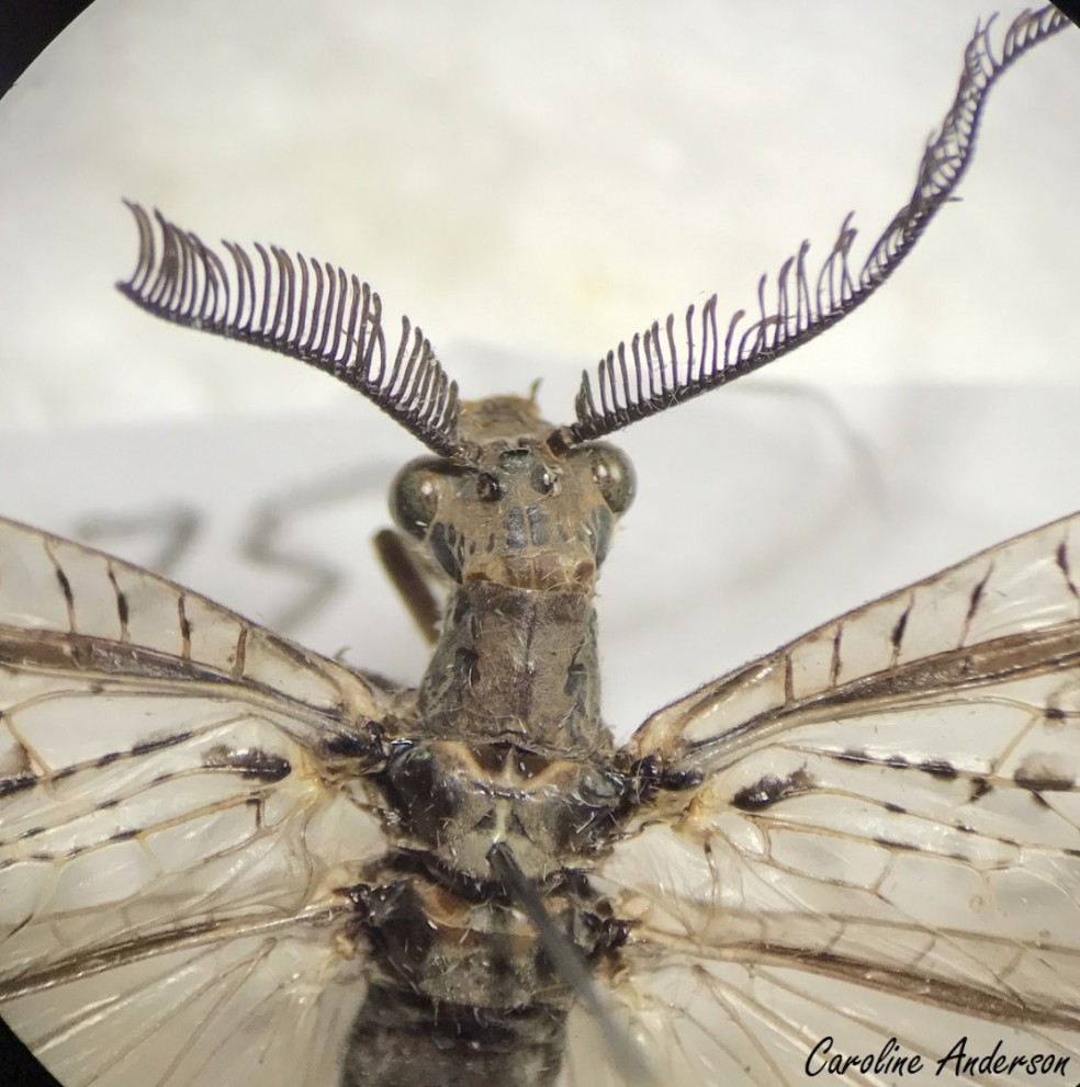 C. rastricornis mâle_Bino