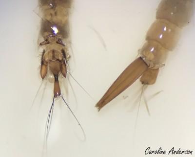 Dixidae vs Culicidae 2