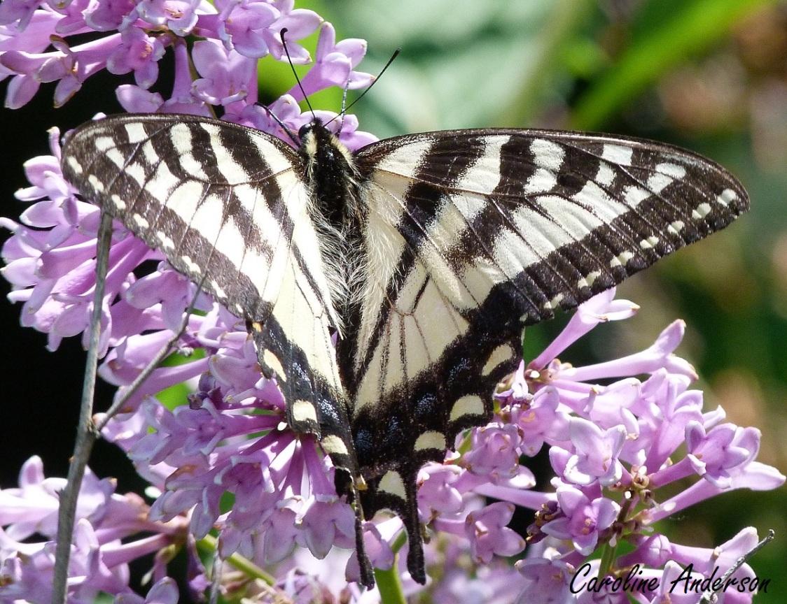 Papillon tigré du Canada qui butine dans mes lilas