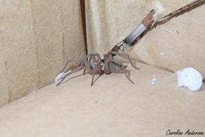 Surprise! Une araignée vivante parmi les flacons d'alcool!