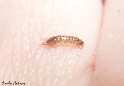 Asellidae observé dans le lac Croche à la Station de biologie des Laurentides