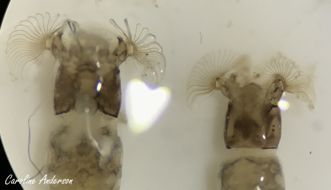 1.Est-ce pour obtenir plus de canaux que ces insectes portent de telles structures?