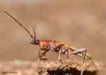 LeclercL_Cerambycidae