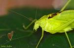 LeclercL_Tettigoniidae