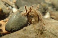 NormandS_Hydropsychidae