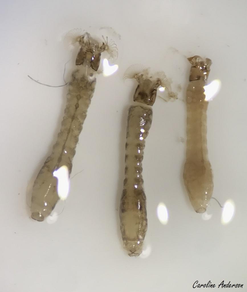Simuliidae 3 larves